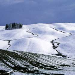 Cypresses in the snow in Val d'Orcia