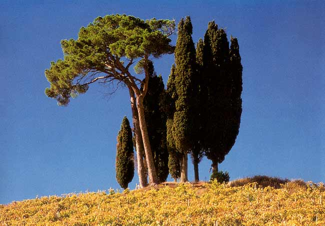 Vineyard and cypresses in Chianti