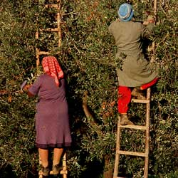 Chianti: The olive harvest