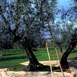 Maremma: The olive harvest
