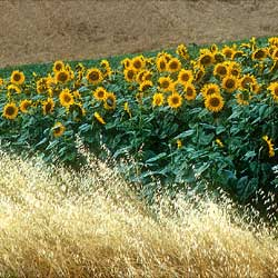 Field of sunflowers in the Arezzo area