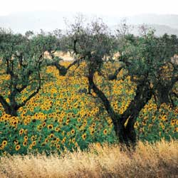 Sunflowers and olive trees at Roselle